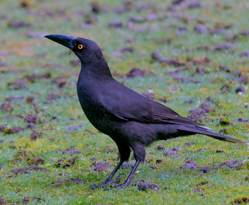 BlackCurrawong