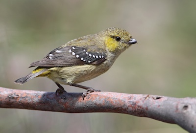 Forty-spottedPardalote1530