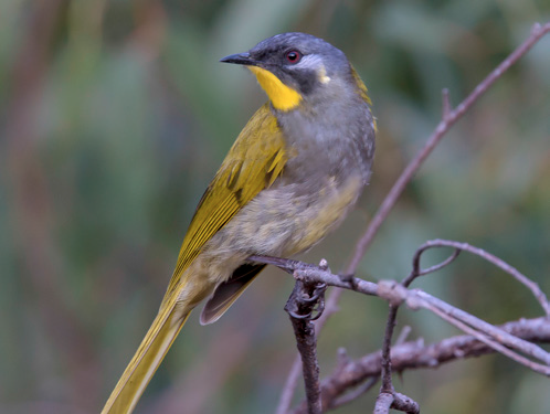 YellowThroatedHE